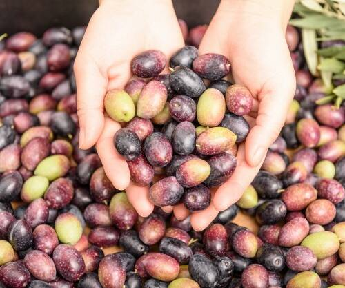 hands-holding-olives-pile-olives-background-harvest-season