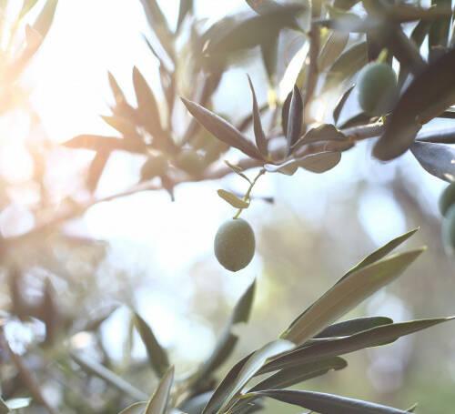olive-tree-branch-3jpg