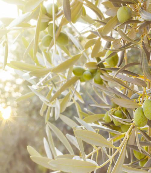olive-tree-branch-4jpg