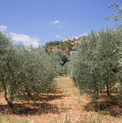 olive-trees-2