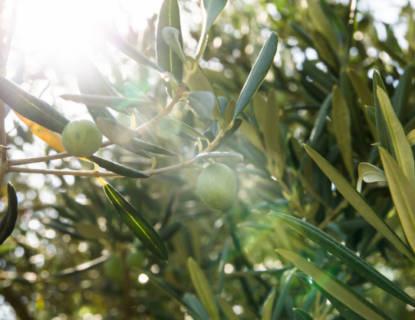 olive-trees-5